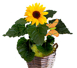 Sunflower in a basket