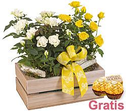 Gelbe und weiße Topfrosen