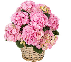 Pink Hortensia in a basket