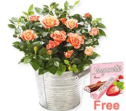 Orange Rose in a zinc bucket