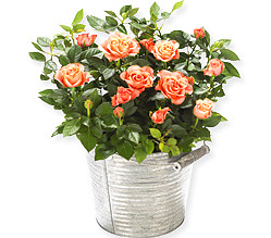Orange Rose in a zinc bucket