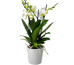 2 Orchids in a pot