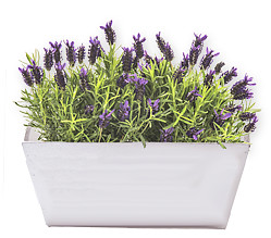 Lavendel in a pot