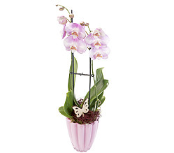 Orchid in pink pot