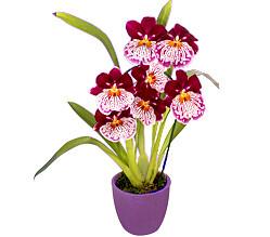 Inca Orchid in a pot