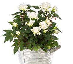 Weiße Rose im Zinktopf