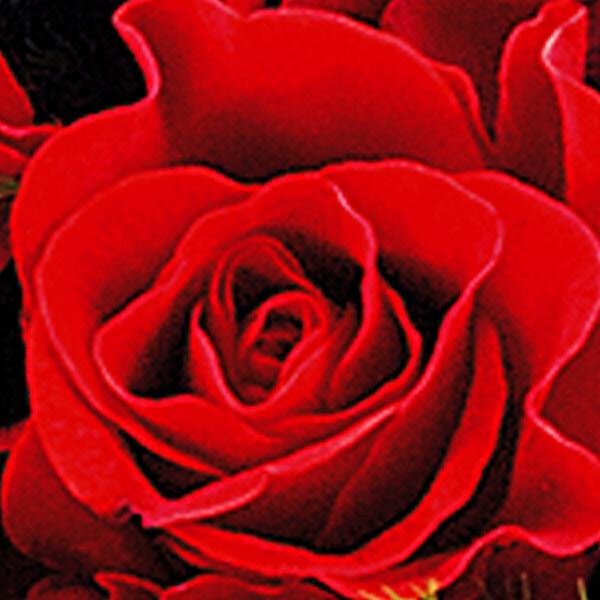 Roter Rosenstrauß mit Vase