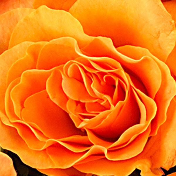 Individual orange roses with vase