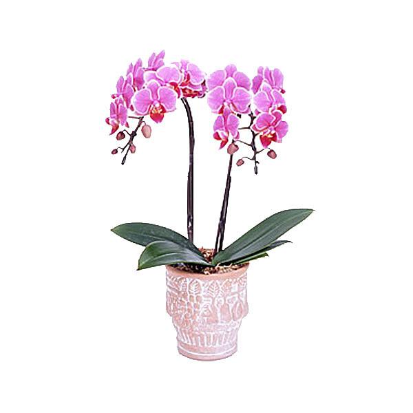 Pinke Orchidee