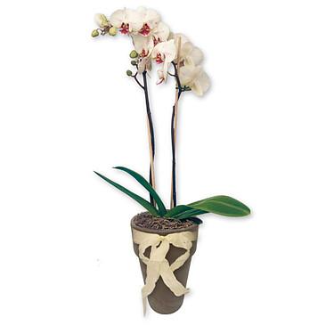 Weiße Orchidee im Topf