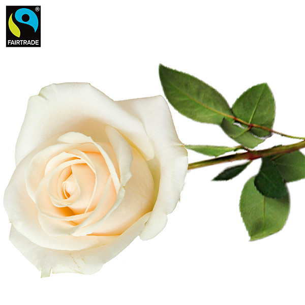 White FAIRTRADE rose