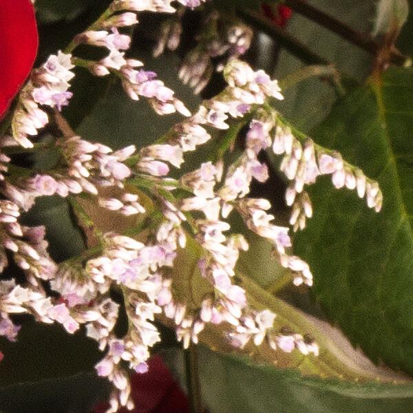 15 rote Fairtrade Rosen im Bund mit Limonium mit Vase