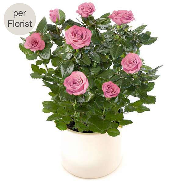 Rosa Rose im Topf
