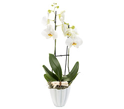 Orchid with white blossoms